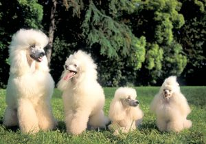 Barboncino Poodle