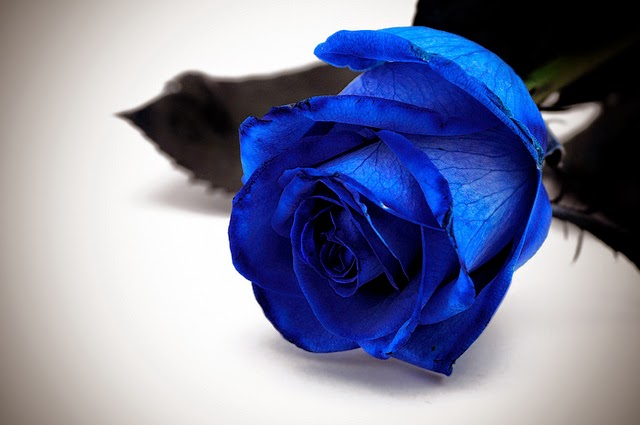 Rosa blu significato: tutto quello che devi sapere