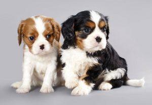 Cani da appartamento le razze più ricercate