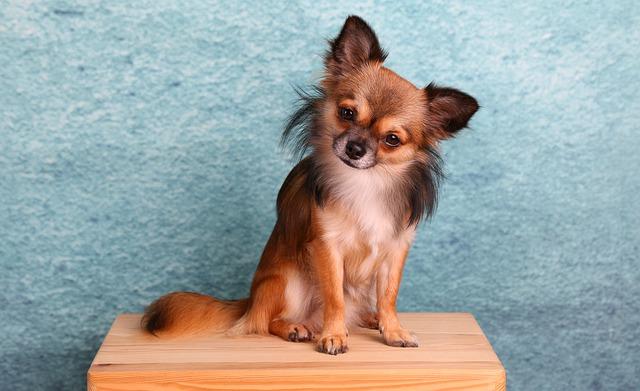Chihuahua Pelo Lungo