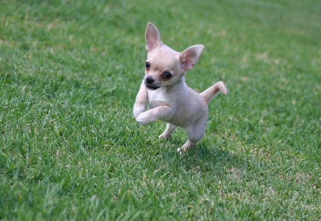 Chihuahua Mini Toy