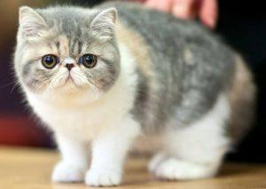 Gatto Esotico
