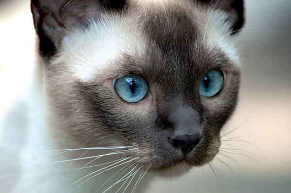 Gatti Siamesi