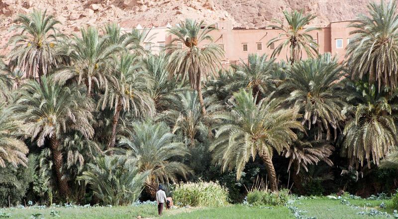 Palma da Dattero