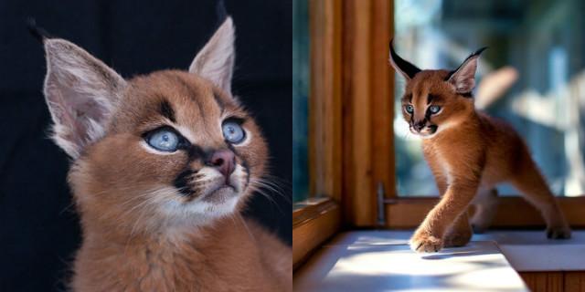 Razze di Gatti