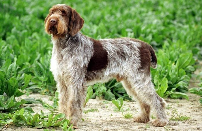 Spinone