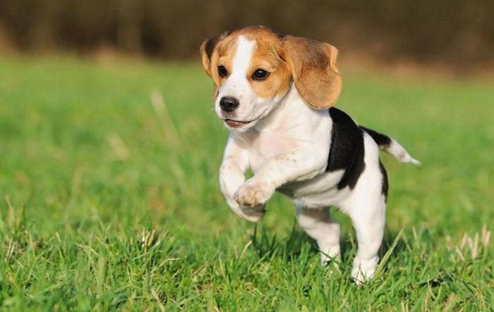Beagle Nano