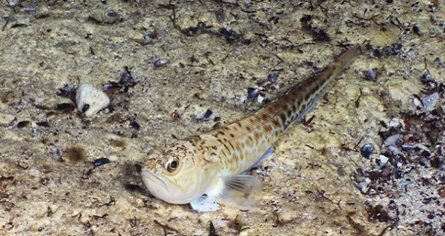 Pesce Ragno