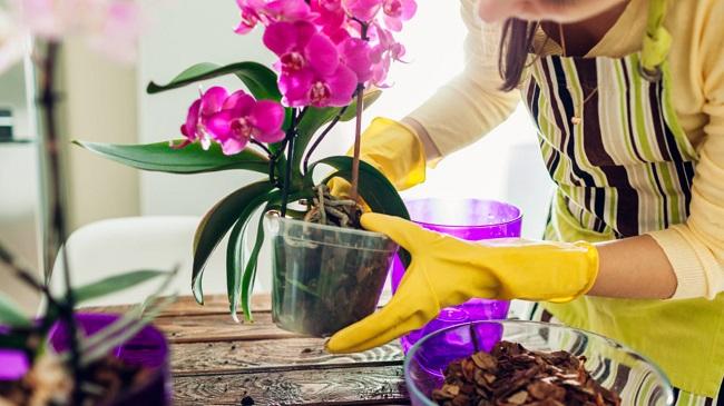 Orchidea come curarla