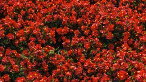 Fiorellini rossi